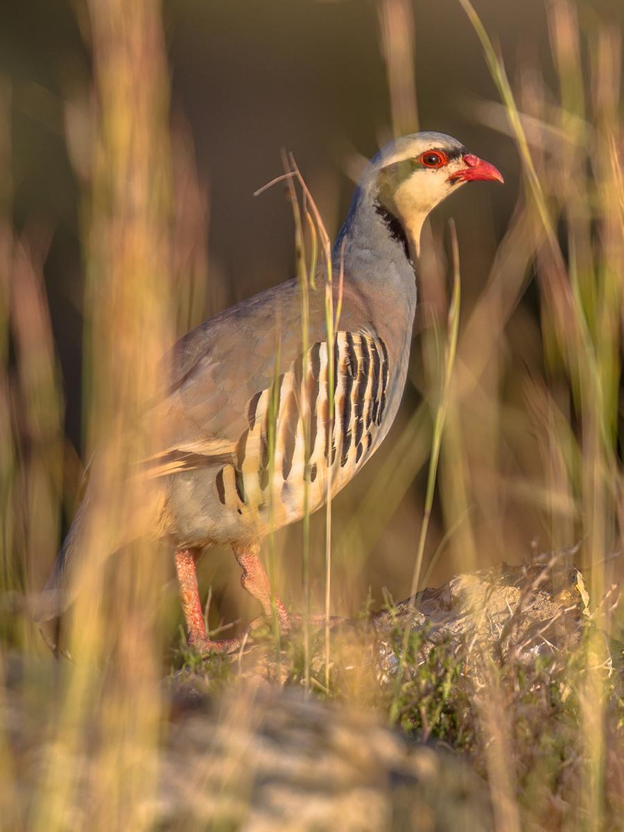 chukar-partridge-looking-through-vegetation